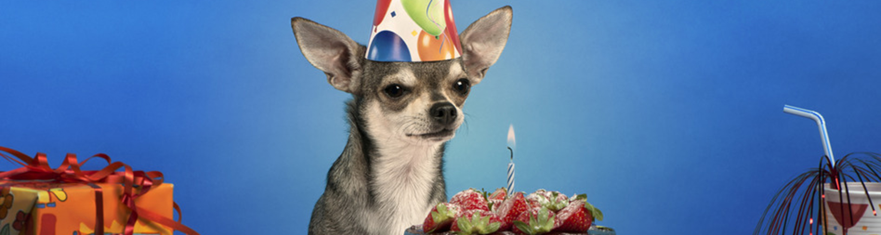 Chihuahua at birthday