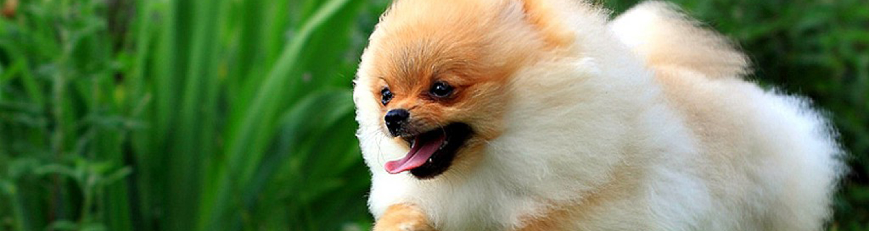 Running pomeranian dog